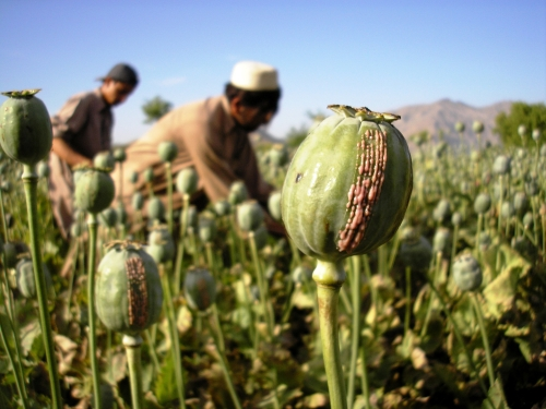 a research on opium Opium poppy seed pod  when sertürner published the isolation of pure morphine from opium after at least thirteen years of research and a nearly.