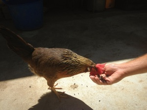 Chicken eating from a hand
