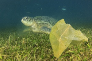 Plastic pollution problem: carrier bag discarded in sea threatens turtles