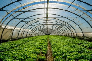 Greenhouse nursery for the cultivation of salad and other vegatable