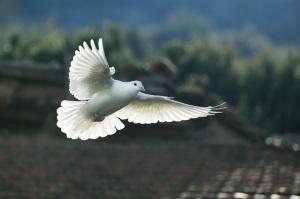 beyaz güvercin