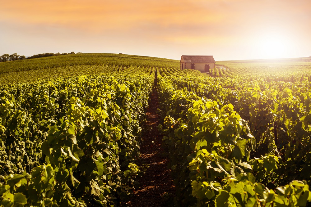 Champagne Vineyards at sunset, Montagne de Reims, France